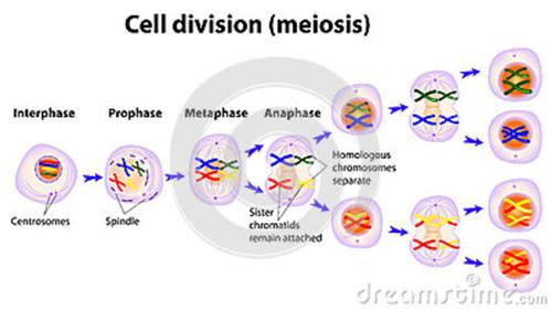 Meiosis dec 2016 ccuart Image collections